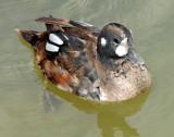 Ducks, Harlequin( first year birds) 11-03-2011