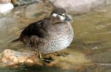 Ducks, Harlequin (11-03-2011)
