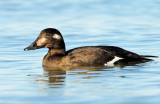 Scoter, White-winged