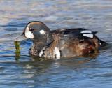 Duck, Harlequin  (11-12-2011)