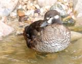 Duck, Harlequin (Female #1) 11-20-2011
