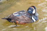 Ducks, Harlequin--1st year male and female's (11-25-2011)