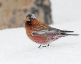 Rosy-Finch, Gray-crowned