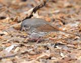 Sparrow's, Fox