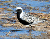 Plover, Black-bellied (4-28-2012)