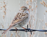 Sparrow, Brewer's
