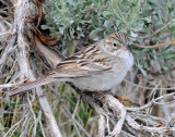 Sparrow, Brewer's