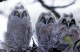 Owl, Long-eared (fledglings)