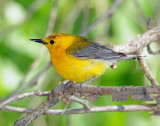 Warbler, Prothonotary
