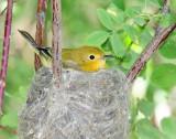 Warbler, Yellow