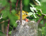 Warbler, Yellow (Newborns)