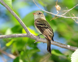 Flycatcher Least D-033.jpg