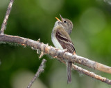Flycatcher Least D-035.jpg