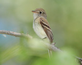 Flycatcher Least D-041.jpg
