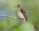 Flycatcher Least D-042.jpg