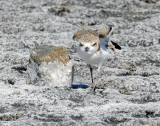 Plover, Snowy (Juvenile doing foot stands)