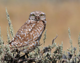 Owl, Burrowing
