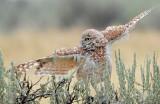 Owl, Burrowing (Male in the rain)
