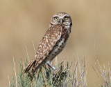 Owl, Burrowing (Female)