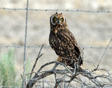 Owls, Short-eared  (July 20, 2012)