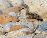 Avocet,  American (Newborns)