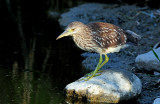 Night Heron, Black-crowned (Juvenile)