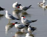 Terns, Caspian