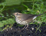 Waterthrush, Northern  (8/27/2012)
