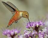 Hummingbird, Rufous (8-29-2012)