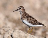 Sandpiper, Least (Sept, 2,  2012)