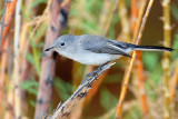 Gnatcatcher, Blue-gray