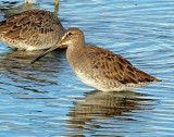 Dowitcher, Long-billed