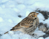 Longspur, Chestnut-collered