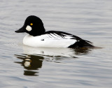 Goldeneye CommonD-014.jpg