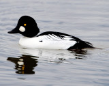 Goldeneye CommonD-015.jpg