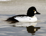 Goldeneye CommonD-016.jpg