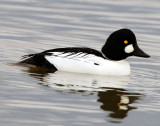 Goldeneye CommonD-018.jpg