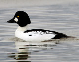 Goldeneye CommonD-019.jpg