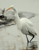 Egret Great D-022.jpg