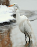 Egret Great D-023.jpg