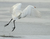 Egret Great D-029.jpg