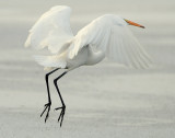 Egret Great D-031.jpg