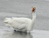 Egret Great D-033.jpg