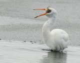 Egret Great D-034.jpg
