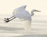 Egret Great D-046.jpg