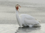 Egret Great D-040.jpg