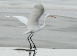 Egret Great D-038.jpg