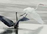 Egret Great D-036.jpg