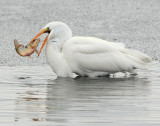 Egret Great D-019.jpg