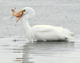 Egret Great D-018.jpg